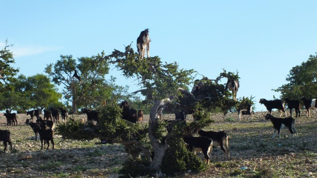 Chèvres sur arganiers