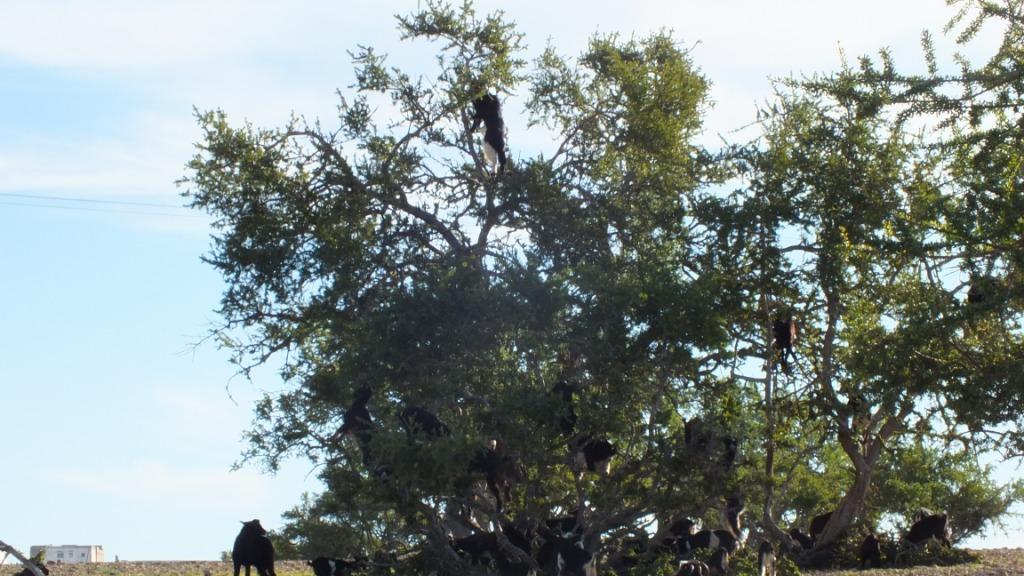 chevres dans les arbres